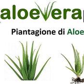 Foto di www.aloeveraplants.gr