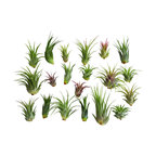20-Piece Air Plant Tillandsia