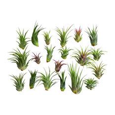 Bliss Gardens - 20-Piece Air Plant Tillandsia - Plants