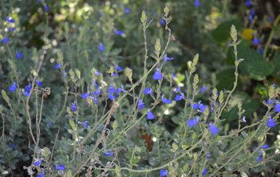 Germander Sage Makes a Versatile Flowering Ground Cover
