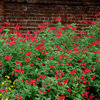 Great Design Plant: Autumn Sage Brings Color and Butterflies