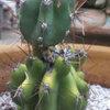 Cereus Peruvianus Cactus With Injury on Top Growing Small New Cactus