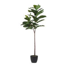 5' Fiddle, Leaf Fig Tree