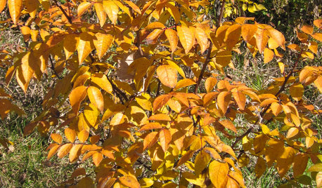Common Pricklyash Provides Reliable Orange or Gold Color in Autumn