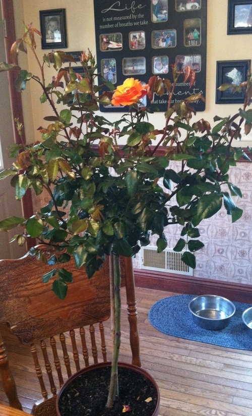 Rose Topiary Playboy How To Care For It