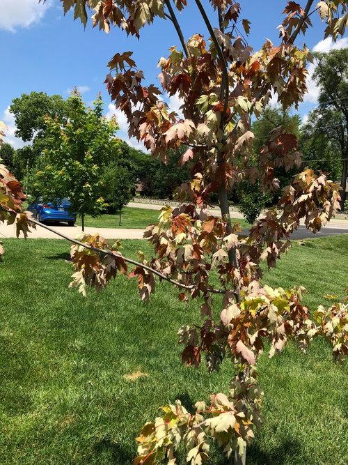 Autumn Blaze Maple Dying