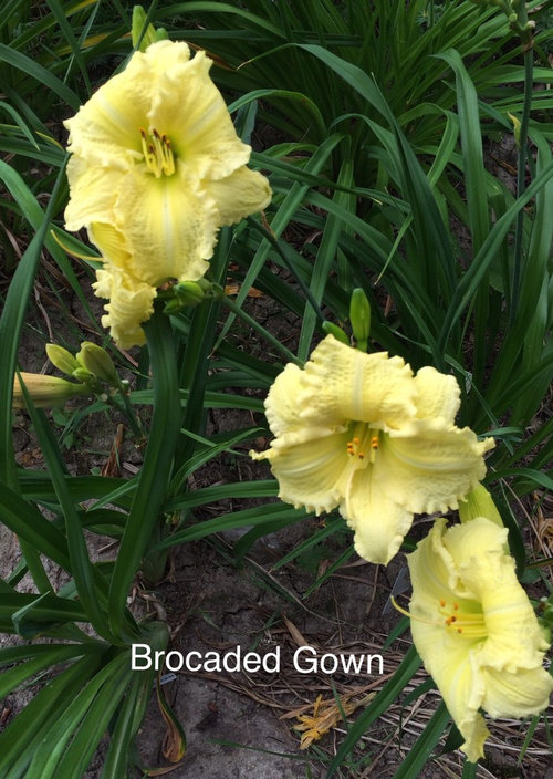 BEDAZZLING *B* daylilies, 2017