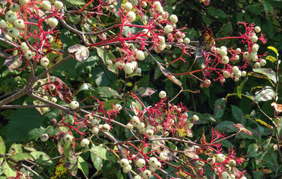Great Design Plant: Cornus Racemosa