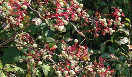 Great Design Plant: Cornus Racemosa