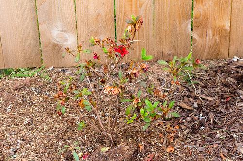 Encore Azalea Sparse Leaves