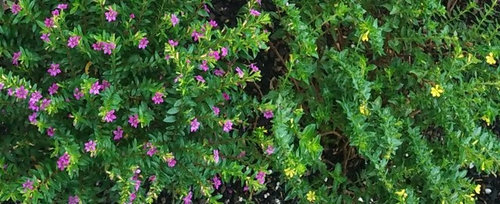 Please Help Me To Identify This Plant With Either Small Pink Purple Or Yellow Flowers Having 6 Petals Tks