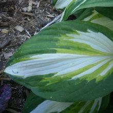 leaf shots
