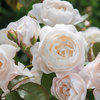Gorgeous New English Roses From David Austin