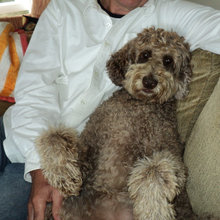 Hair of the Dog: 12 Reasons to Love the Australian Labradoodle