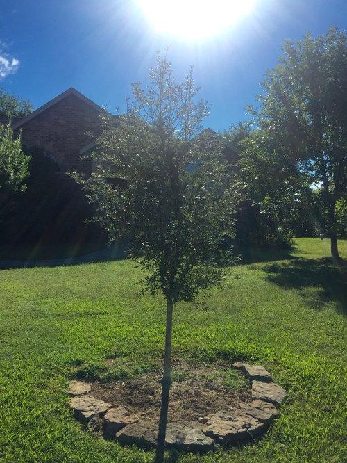 Quartz Mountain Amp Quercus Fusiformis Live Oak Trees In Zone 6