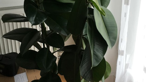 Rubber Plant Dying - Drooping Leaves