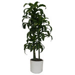 Scape Supply - Live 4' Dracaena Dermensis 'Dorado' Staggered Cane Package, White - This live 4 foot Dracaena Dorado is a curly leaf Janet Craig variety with a bright green border.  This plant comes with three stalks per pot and brings a different plant look into your space.  The Dorado is low to medium light plant that can handle a twice a month watering if it's not too hot.  This plant stands slender and is a perfect medium sized plant for almost any indoor environment.
