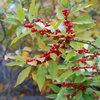 Great Design Plant: Winterberry Rouses Frosty Gardens