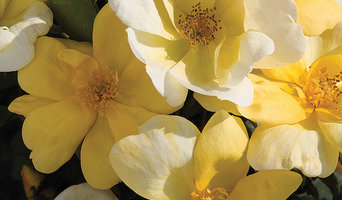 The Sunny Knock Out® Rose
