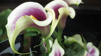 Spring Colour: Calla Lilies