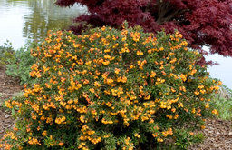 Dwarf Coral Hedge Barberry