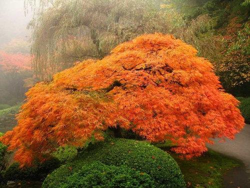 Id Japanese Maple In Portland Japanese Garden