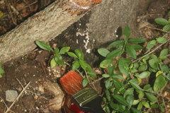 How to kill ailanthus (AKA tree of heaven)