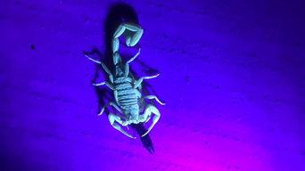 Scorpion Eating Earwig Chandler Arizona