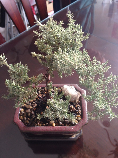 Need Advice For My Yellowing Bonsai