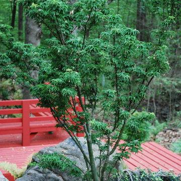 Shishigashira Japanese Maple
