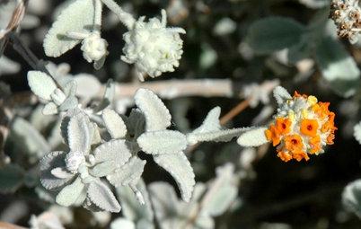 Great Design Plant: Buddleja Marrubiifolia