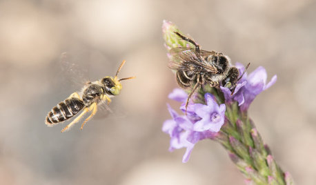 Keep an Eye Out for Fast-Moving Calliopsis Bees