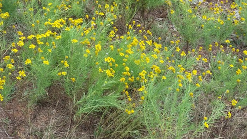 Yellow pasture flower what is this flowerweed central oklahoma dry pasture about 12 inches tall tight ground mightylinksfo