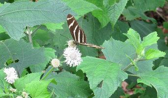 Great Design Plant: Native Passionvine or Maypop