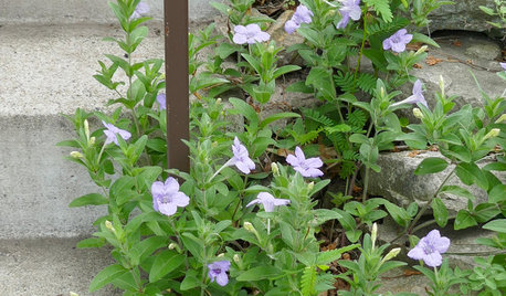 Ruellia Humilis Thrives in Rock Gardens and Along Boulevards