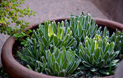 10 Small-Scale Agaves Just Right for Containers