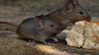 North Shore Mice Patrol