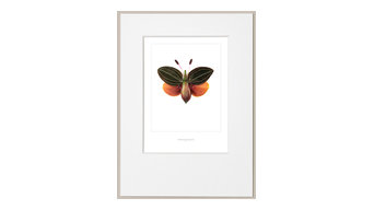 """Acorn Butterfly"" Poster With Border, 30x40 cm"