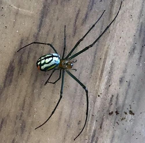 Spider Identification, Georgia, USA