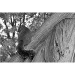 "Pi Photography Wall Art and Fine Art - ""Shy Squirrel"" Black & White Wildlife Photography Unframed Wall Art Print, 24""x3 - ""Shy Squirrel"" Wildlife Photography - Luster Photo Paper Unframed Wall Art Print"