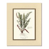 Vintage Botanical Fern Art : Smaller Ebony Spleenwort Fern