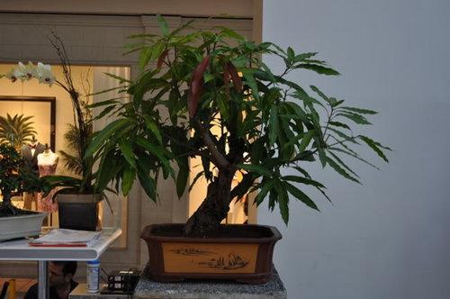 Mango Bonsai For Space Conscious Folks