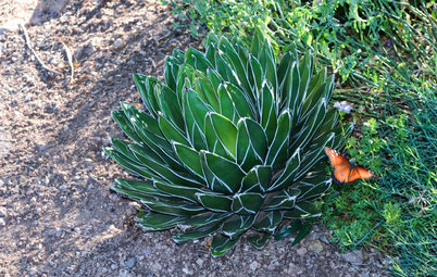 Great Design Plant: Small but Mighty Agave Victoria-Reginae