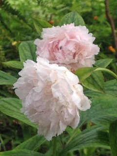 Desperate for peonies in texas this past march and april gave central texas cool nights which i believe the buds needed for a successful blossom mightylinksfo