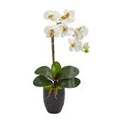 Phalaenopsis Orchid, Black Vase