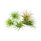 Bliss Gardens Ionantha Tillandsia Air Plants Assorted, 5 Pack Ionantha