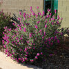 Great Design Plant: Texas Ranger Explodes With Color