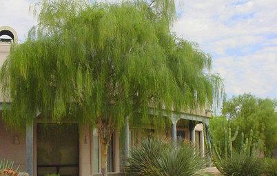 Great Design Plant: Palo Blanco Softens Sharp Desert Angles