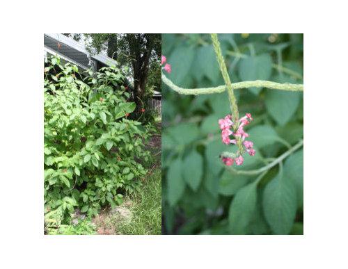 Bushy plant with tiny pinkred flowers weed mightylinksfo