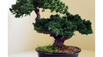 Preserved Bonsai Tree for sale